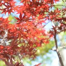 *【紅葉】夏前でも、赤く色づいています