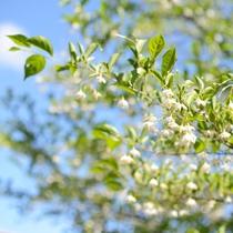 *【エゴの花】庭に咲いています