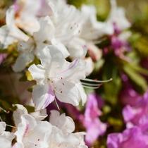 *【周辺のお花】[ツツジ]ピンクのツツジの隣に咲いています。