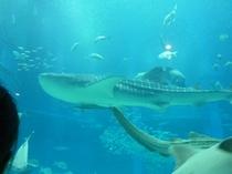 海遊館ジンベイザメ♪海遊館でくらす生き物たちをご覧ください。夜の海遊館も魅力がいっぱい!
