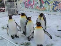 海遊館♪ペンギンたちパラダイス♪ペンギンたちのヨチヨチ歩きや飛ぶように泳ぐ姿をご覧ください。