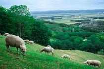 清見の丘から見える羊の風景