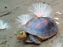 セマルハコガメ