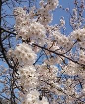 市内最上公園の桜