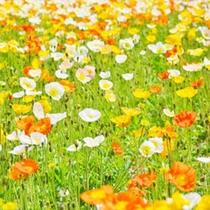 とっと花回廊 春:ポピー
