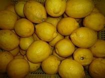愛南町産レモン