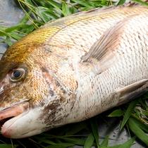 【食材一例】桜鯛。丹後の春を代表する魚。脂ののった旨みをお刺身で