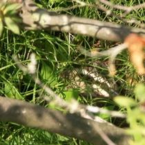 卵を抱くカルガモ