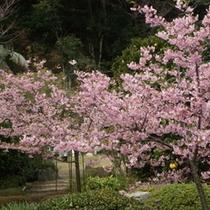 庭内の河津桜