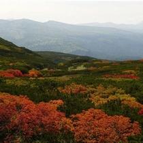8月下旬から紅葉が始まり、姿見駅周辺では、黄や赤に色付くウラジロナナカマドの紅葉が見事。