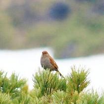 【旭岳の自然】旭岳は希少な野鳥の住処です