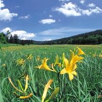 【尾瀬】夏にはニッコウキスゲが咲き誇ります