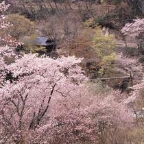 【外観】桜の時期の宝川温泉
