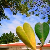 フクギの葉ハート型発見(*^_^*)通常は楕円形です!なんだか幸せな気持ちに♪