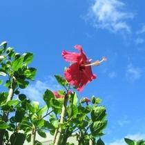 垣根はハイビスカス 一年中咲いています(*^_^*)