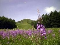 8月の花 ヤナギランの群生