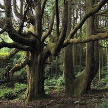 ★高杉殿の杉