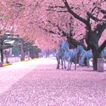 官庁街通 桜