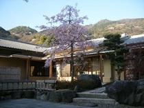 玄関前 桜