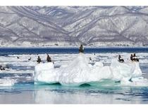 羅臼の海に広がる流氷の上ではたくさんのオオワシが羽を休めます。