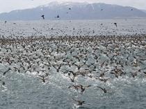 北方領土「国後島」をバックに現われるミズナギドリ。大群が一斉に飛び立つ姿はまさに圧巻!