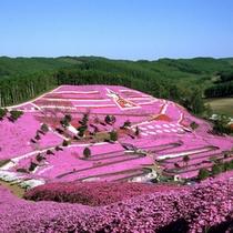 道東春の風物詩「芝桜」
