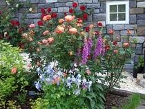 バラとジキタリス 定番のイングリッシュガーデンの組み合わせです。