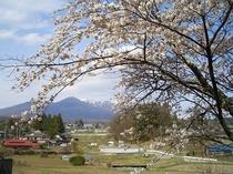 アルプスと枝垂れ桜 4月半ばから5月半ばまでゆっくり楽しめます。