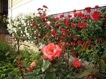 庭のバラはすべて英国国立バラ園のピーターヴィールスのバラです。