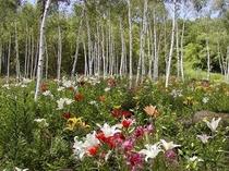 白樺の中に咲く500万輪のリリー・・・日本でも有数の風景です