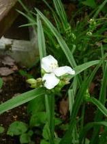 白花つゆ草