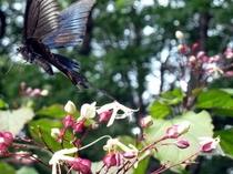 2011年華と蝶
