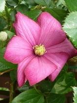 クレマチス 濃いピンク