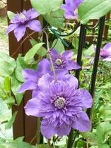 クレマチス 八重紫
