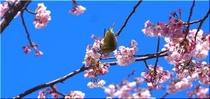 大寒桜とメジロ