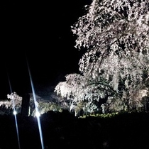 光前寺しだれ桜ライトアップ