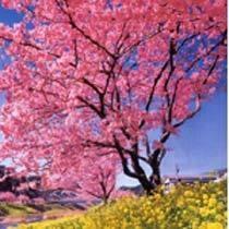 一足早い春の訪れ 桜と菜の花