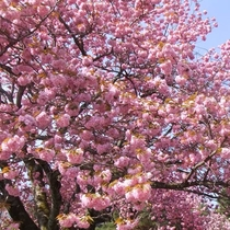 *(春)グリーン牧場の1500本19種の桜