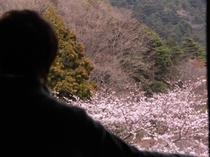 *筑波山側和室から望む桜(春季)