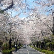 長瀞北桜通りの桜(4月中旬)お車で約15分