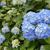 【はなや周辺の彩】〜紫陽花〜