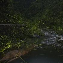 ホタル乱舞!滝山峡にて 見頃6月中旬~下旬