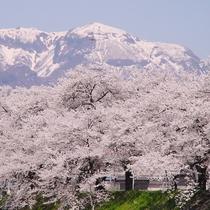 勝山弁天桜【残雪×桜】のコントラストが見事な景色です。