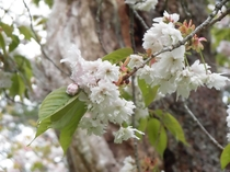 磐椅神社の大鹿桜