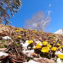 ■【春】福寿草