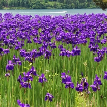 ■【春】木崎湖畔のアヤメ