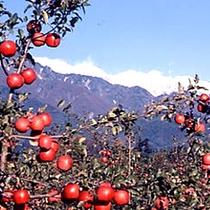 リンゴ狩り「信州まつかわマルダイ大農園場」