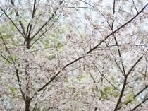 霞城公園の桜は絶景です!