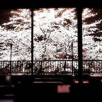 *sakura(ロビー目の前 見ごろは4月20日以降~4月末ごろ)