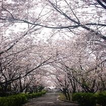 ★ときわ公園の桜★